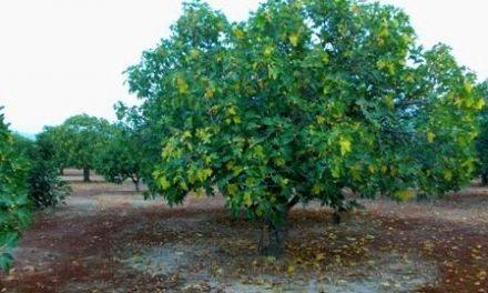 La cosecha de higo, liderada por Extremadura, alcanzó un valor de 34 millones de euros el pasado año