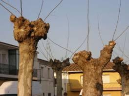 Vettonia muestra su malestar por la poda «severa» que se ha realizado a los árboles del municipio de Moraleja