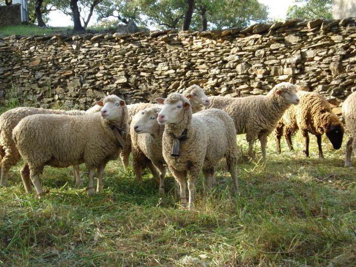 UPA-UCE pide al ministro y al consejero extremeño de Agricultura que no condenen al sector del ovino