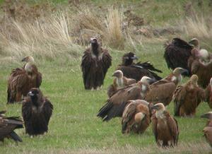 La Junta crea una red de muladares para evitar los problemas de alimentación de las aves carroñeras