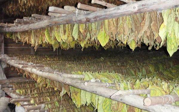 El Gobierno regional recuerda que la reforma de la directiva del tabaco tiene riesgo para los productores