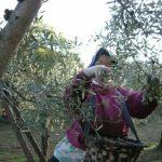 Convocan un paro en la recogida de aceituna en el norte de Cáceres por los bajos precios