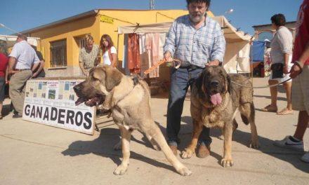 El 80 por ciento de los ganaderos de la feria de perros de Ahigal se muestra partidario de usar mastines