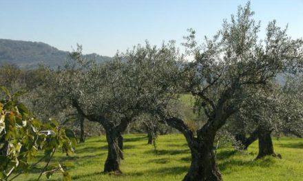 Ecologistas en Acción Granadilla espera batir el récord  de aceituna de calidad en esta campaña