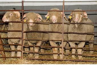 La Diputación de Cáceres participa en la Feria de Zafra con una muestra de ganado de la Raza Merino Precoz