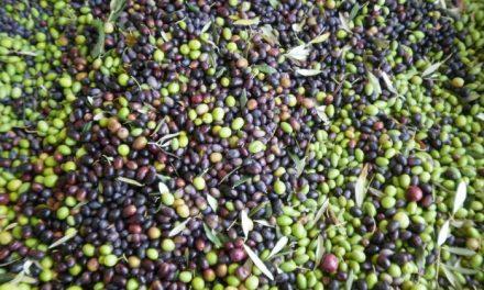 """UPA UCE critica los bajos precios de la aceituna de mesa que suponen la """"ruina"""" de los agricultores"""