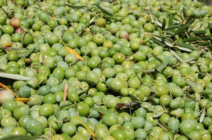 El norte de Cáceres prevé recolectar esta campaña 30 millones de kilos de aceituna manzanilla cacereña