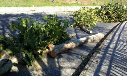 Fomento aclara que las raíces de los árboles de la calle de las Huertas de Plasencia afectaban al acerado