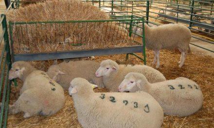 La Feria Agroganadera de Trujillo subastará este domingo casi 300 cabezas de ganado ovino