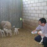 Una oveja de la raza romanov de Mohedas de Granadilla pare en un parto múltiple a cinco corderos