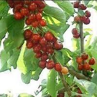 La DOP Cereza del Jerte elige el Reino Unido como principal destino para la exportación de la picota
