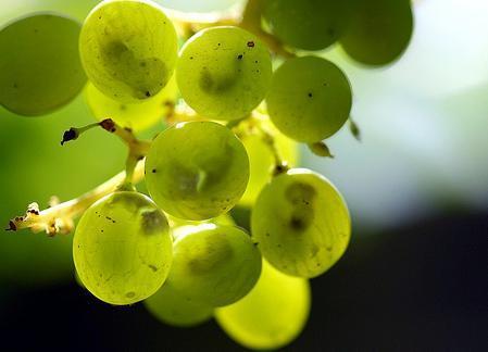 Investigadores extremeños diseñan un producto saludable elaborado con extractos de semillas de uva