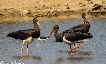 La población de cigüeña negra en Extremadura alcanza máximos históricos con 189 parejas registradas