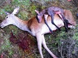Ecologistas en Acción Granadilla denuncia una masacre de ciervas preñadas y varetos