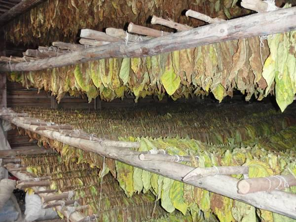 CCOO alerta de que si Altadis compra menos tabaco a CETARSA se podría perder muchos puestos de trabajo
