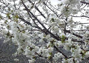 El Valle del Jerte crea más puntos de información del Cerezo en Flor en Tornavacas y en la carretera N-110