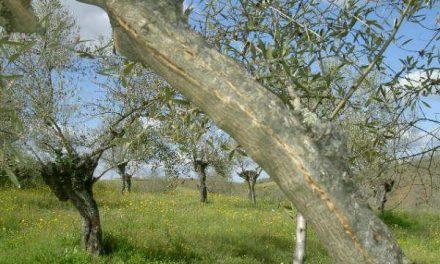 Los técnicos de Citycex analizan y estudian los efectos de las heladas en los olivares de Ahigal