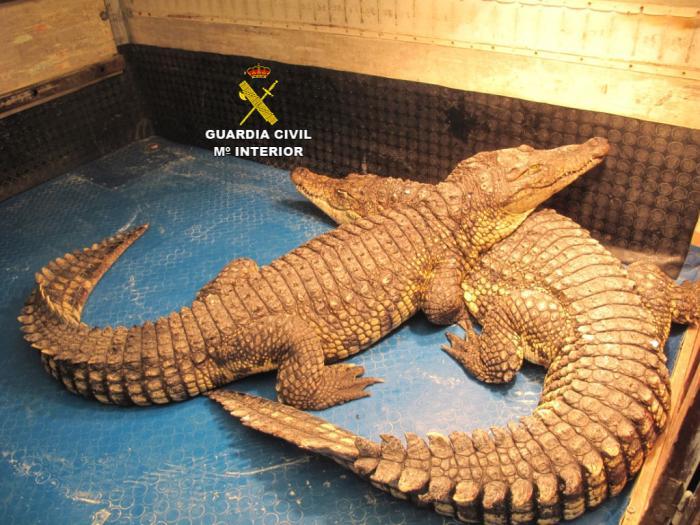 La Guardia Civil interviene dos cocodrilos del Nilo y varios reptiles en un circo en Fresnedoso de Ibor