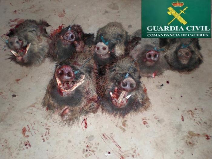 La Guardia Civil interviene siete cabezas de jabalíes en una batida ilegal en el Parque Natural del Tajo