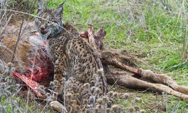 Ecologistas en Acción Granadilla presentará su escuela sobre el lince ibérico en la feria de ornitología