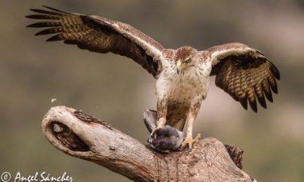 La población de águila perdicera se consolida en Extremadura, pese al declive en el resto de España