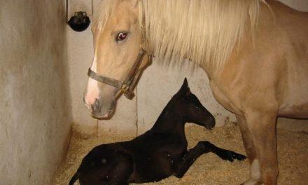 Cien caballos concurren al Concurso Morfológica Nacional de Pura Raza de Torrejoncillo
