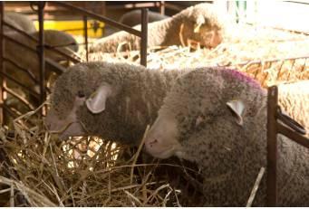 La Sociedad Agropecuaria sortea 168 ejemplares de merino precoz entre ganaderos de la provincia