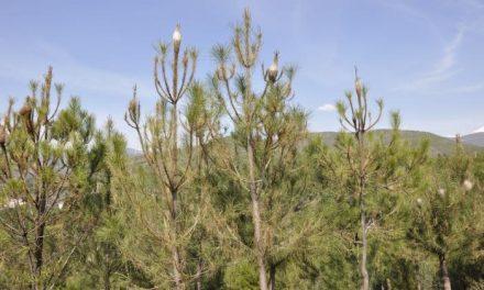 El PSOE de Pinofranqueado pide a la Junta que actúe contra la procesionaria del pino en Las Hurdes