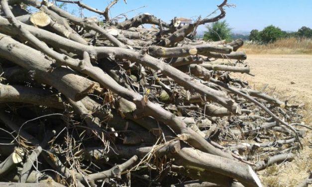 Cicytex organiza una jornada demostrativa de recogida de poda del olivar para su aprovechamiento