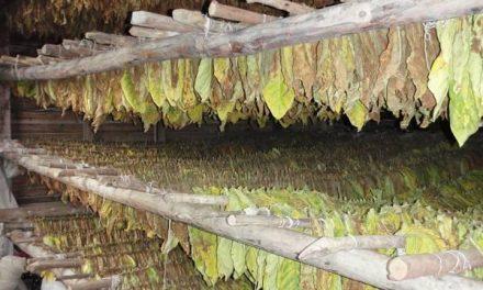 Agricultura abona casi 4,8 millones de euros a 1.558 agricultores por las ayudas a la calidad del tabaco
