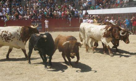 Los toros de Carmen Valiente realizan el encierro matinal más largo de las fiestas de San Buenaventura