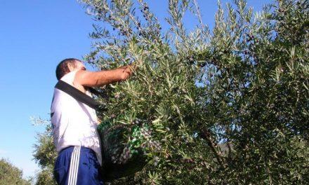 Los olivareros del norte de Cáceres y las industrias acuerdan los precios de la aceituna manzanilla