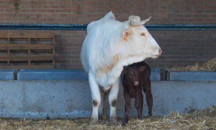 Nacen tres terneros retintos procedentes de transferencia de embriones a novillas de raza blanca cacereña