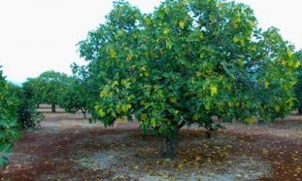 Agroexpo acoge una jornada técnica sobre el cultivo de la higuera, las variedades y modelos empresariales