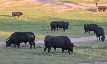 Cuacos de Yuste acogerá el próximo día 15 un concurso y degustación de carne de toro en la plaza del pueblo