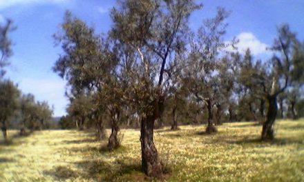 Agricultura abona a 572 perceptores cerca de 2 millones de euros de la ayuda agroambiental al olivar
