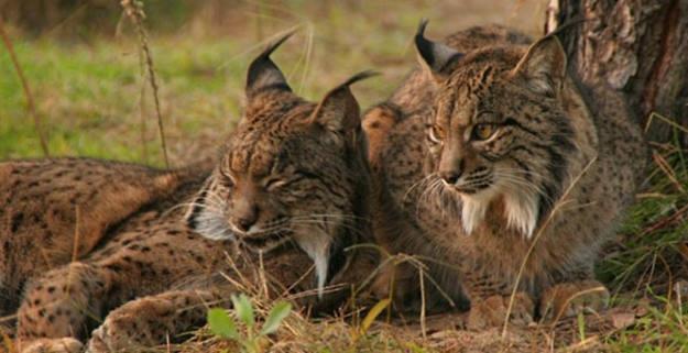 La Asociación Ecologistas en Acción Granadilla solicita la introducción del lince en el norte de Cáceres