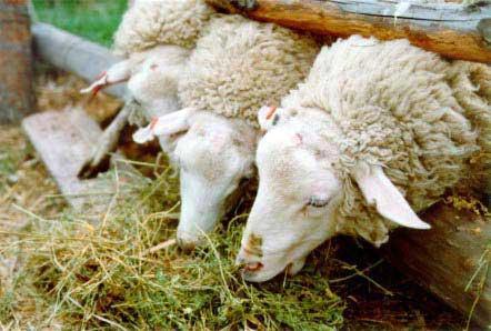 Los ganaderos de ovino y caprino pueden solicitar hasta fin de mes los derechos de prima de reserva nacional