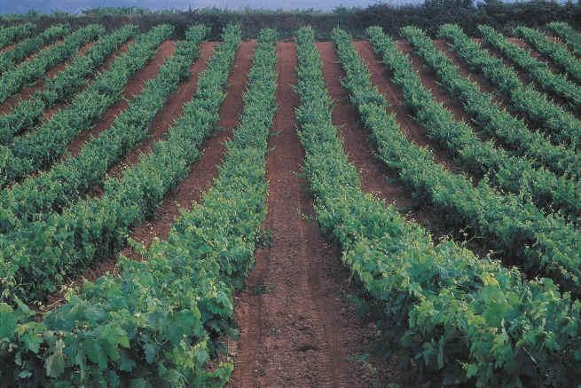 Extremadura, La Mancha y Valencia unen sus esfuerzos en contra de la propuesta sobre la OCM del vino