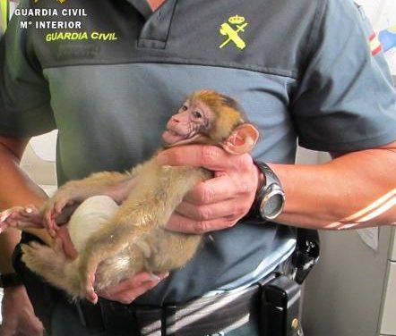El Seprona decomisa en Mérida un mono a una ciudadana que lo trasportaba clandestinamente a Bélgica