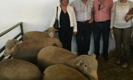 El ganado ovino de las fincas de la Diputación de Cáceres recibe un galardón en la Feria de Zafra