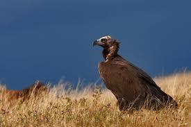 La Junta autoriza nuevos muladares para garantizar la alimentación de las aves necrófagas