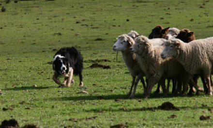 La localidad lusa de Zebreira acogerá este fin de semana el I Campeonato Mediterráneo de Pastoreo