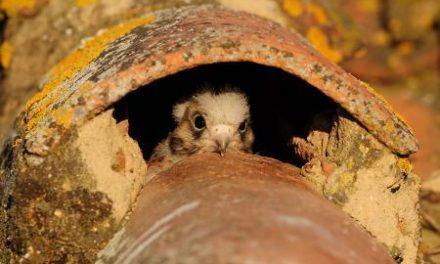 Plasencia apostará en FIO por el casco histórico como escenario para la observación de aves