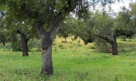 La Junta de Extremadura abre el plazo para solicitar el Plan de Calas en los alcornocales extremeños