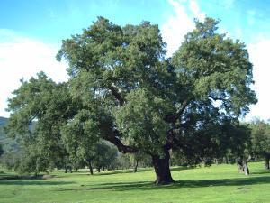 La Junta declara Árbol Singular de Extremadura el alcornoque de la dehesa boyal de Mirabel