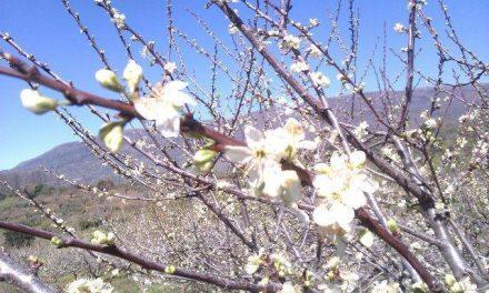 Las previsiones confirman que el Jerte alcanzará el punto álgido de la floración este fin de semana