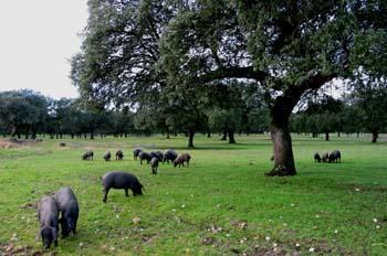 La Junta de Extremadura resalta la importancia social y económica del sector del cerdo ibérico extremeño