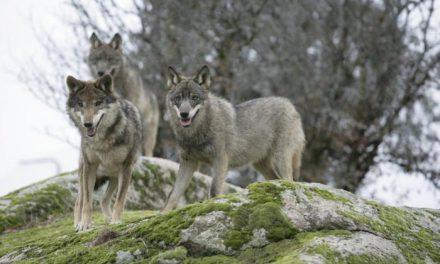Una iniciativa online pide que el lobo ibérico no se excluya del Catálogo de Especies Amenazadas