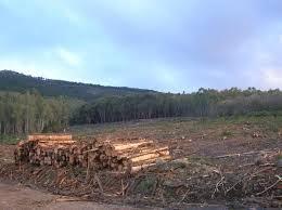 La Junta autoriza la erradicación del nematodo del pino en Valverde por más de 75.000 euros